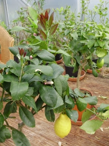 Strong red-flushed young growth, overwintered fruit  and flowers on lemons in tunnel  -13.4.12