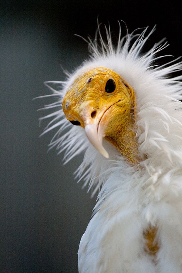 Egyptian Vulture (by DaKrunt)