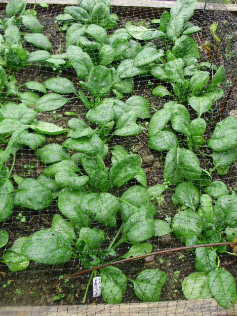Giant winter spinach Viroflex