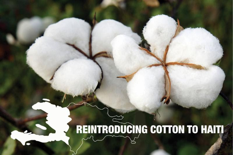 Timberland Commissions Study to Test Feasibility of Reintroducing Cotton as Haitian Export Crop