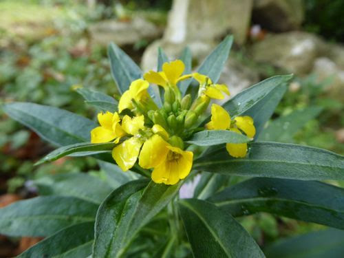 wild wallflower