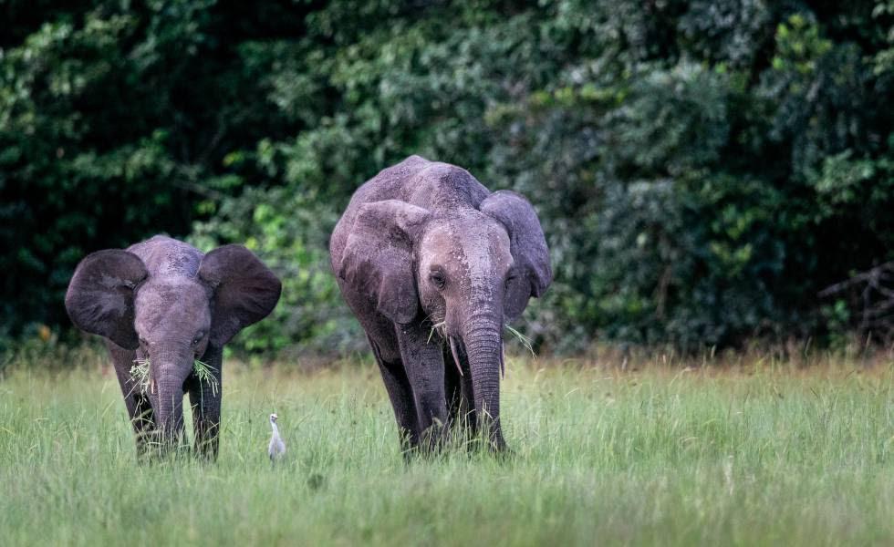 Elefantes en el parque nacional de Loango (Gabón).