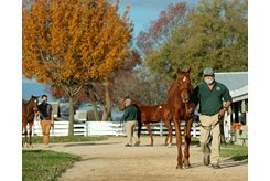 A weanling is shown at the Keeneland November Breeding Stock Sale