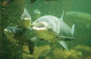 Asian carp swimming underwater