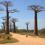 Baobabs de Madagascar. Copie d'écran de Chine Magazine.