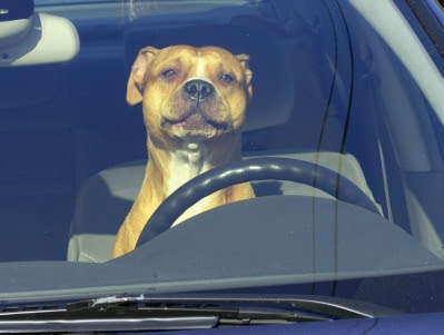 It's dangerous to leave a dog in an unattended car. On an 80-degree day, it takes just 10 minutes for the interior of a car to heat up to 99 degrees.