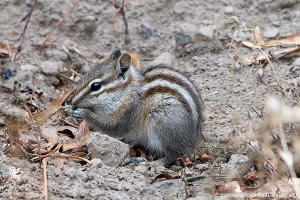 yellowstone least chipmunk