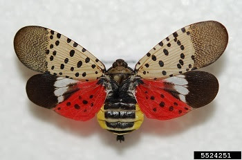 Spotted lanternfly with open wings showing colorful underwings and body