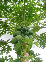 Photo_2_papaya_tree_bearing_fruit