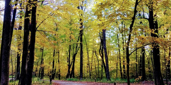 Golden trees at Nerstrand Big Woods State Park