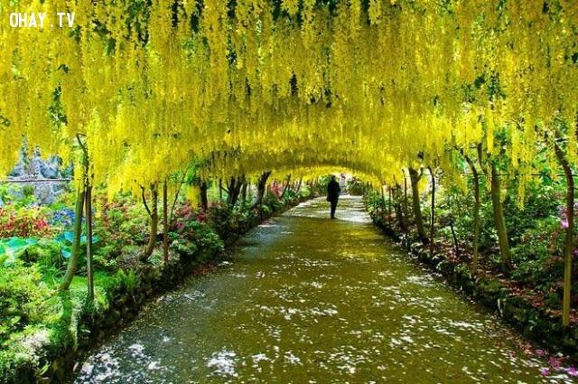 Hoa Kim Tước: Anh yêu em mãi mãi.,ngôn ngữ các loài hoa,hoa đẹp,hoa ngữ
