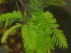 Tenteli (Assamese: তেঁতেলী)