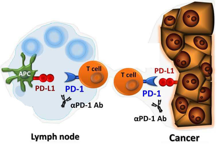 Immune checkpoint inhibitor monoclonal antibodies (Ab) that block PD-1 proteins target immune cells in the lymph nodes and immune and cancer cells in tumors.