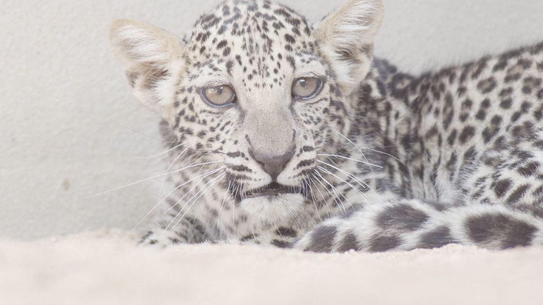 Arabian Leopard Cub