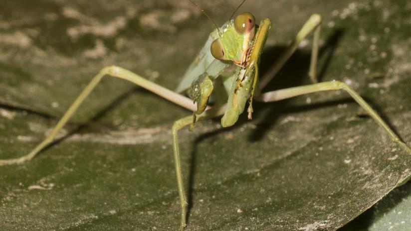 FOTOS: Una mantis que pesca y come peces desconcierta a los científicos