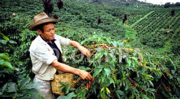 colombia entre os maiores produtores de cafes do mundo