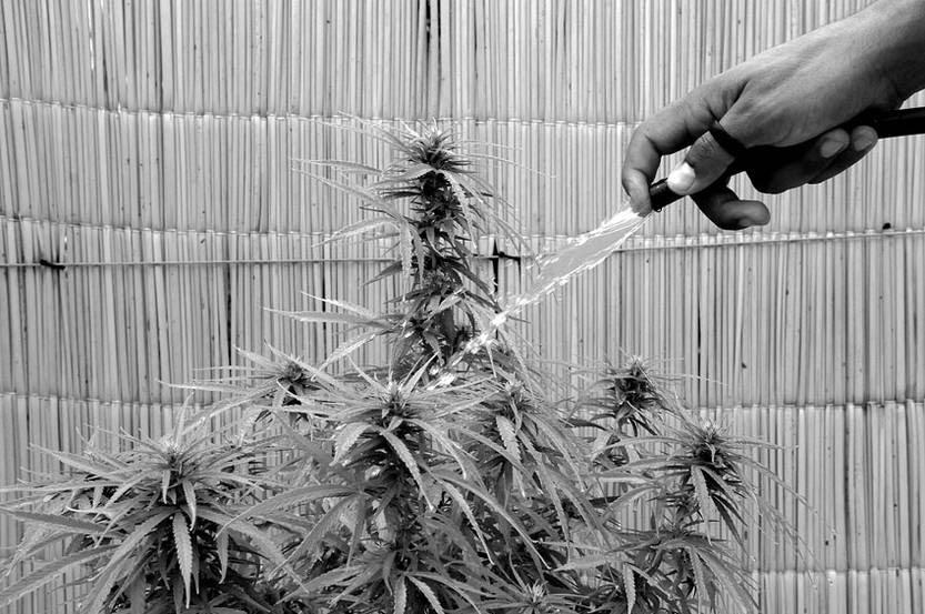 Planta de cannabis. / Foto: Nicolás Celaya (archivo, febrero de 2011)