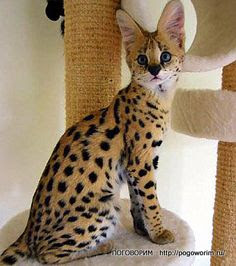 savannah cat pictures | Savannah. Cat cheetah