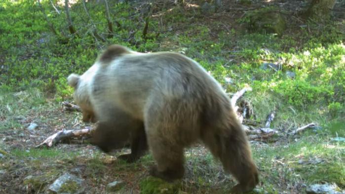 VIDEO. Un bébé ours né cette année photographié avec sa mère dans les Pyrénées