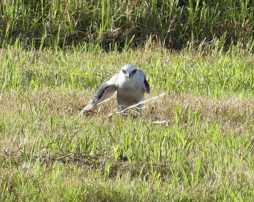 Black-shouldered kite.jpeg