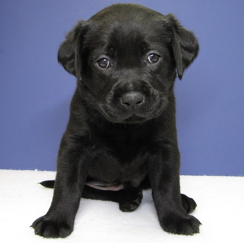 small black Lab pup sits with soulful eyes
