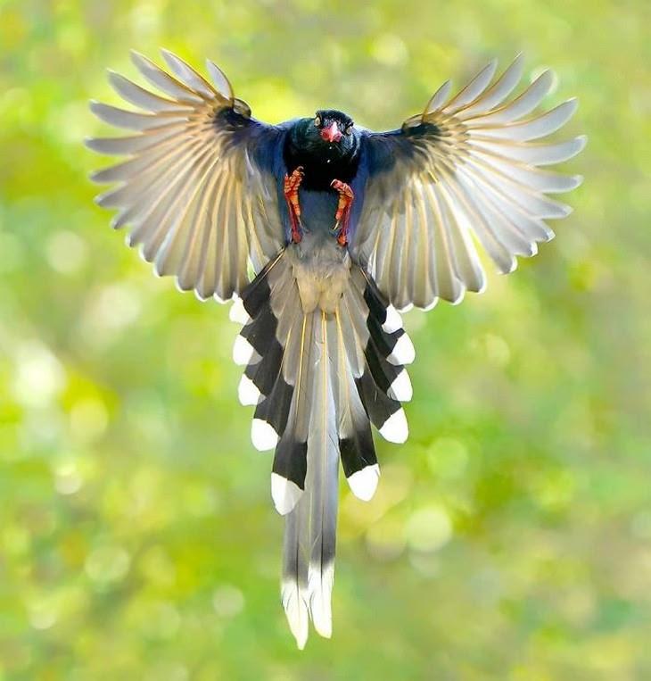 8. Taiwan Blue Magpie