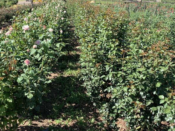 B Flowering stages 27sep (3).jpg