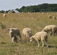 Sheep by Dan Furmansky