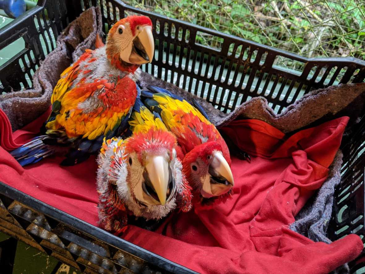 Three young macaws in a crate
