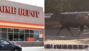 """Robert Spencer in FP: Cow's Throat Slit """"In Accordance with Islamic Law"""" in Connecticut Home Depot Parking Lot"""