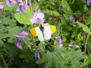 Orange tip butterfly on Orychophragma in early spring