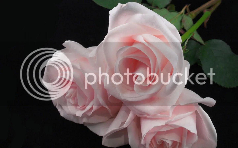 photo Rose 1_zpspmlzqber.jpg