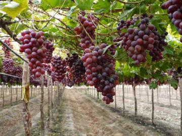 Exportaciones de uvas de mesa de Chile caen en volumen 11% en la temporada 2020-2021
