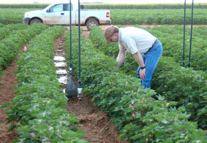 Joe Mustian, Texas A&M AgriLife Research associate, checks on irrigated cotton at Halfway, where the measured data came from. (Texas A&M AgriLife Research photo by James Bordovsky)