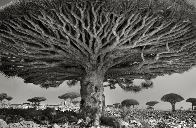 Hình ảnh Chiêm ngưỡng những loài cây hoang dã già cỗi nhất trên thế giới số 1