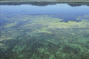 Blue-green algae in a lake.