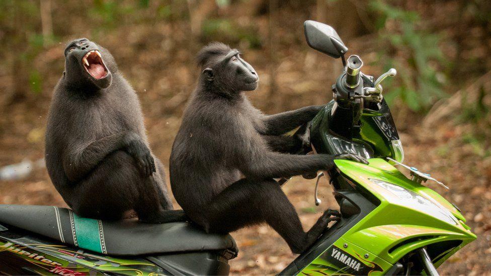 Two monkeys on a bike