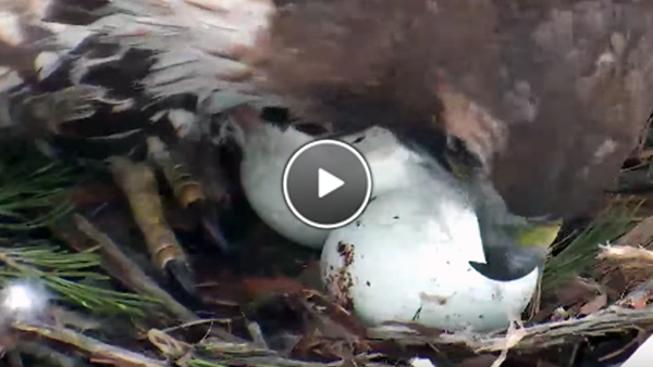 Watch Big Red Tend To Her Two Eggs