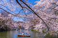 Na primavera, as flores de cerejeira tomam conta do Japão e dão o clima romântico