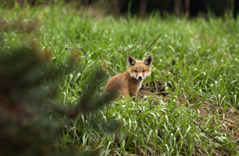 A young red fox in a green field looks at the camera. The Michigan DNR urges those finding wildlife in the woods to leave it there.