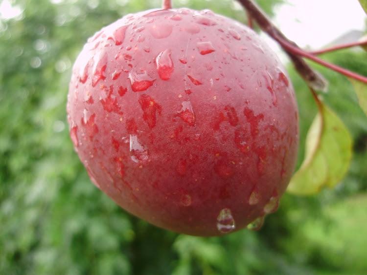 Tickled Pink apple, on tree - mid Sept.