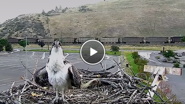 Watch an Osprey fledge the nest.