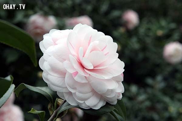 Hoa Trà - Sự duyên dáng, cao thượng,hoa ngữ,ngôn ngữ các loài hoa,hoa quả,hoa đẹp