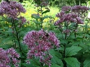 Purple weed named Joe Pye