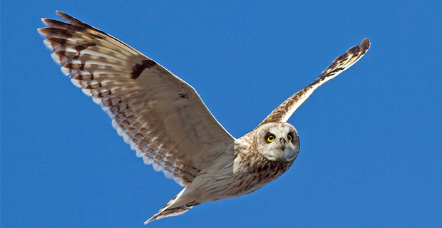 picture of a short eared owl flying