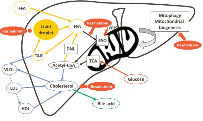 thyroid_receptor_acts_on_liver_pathways.JPG
