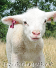Lamb with ear tag