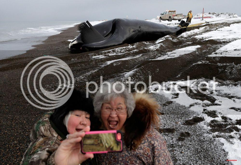 Xẻ thịt cá voi để sinh tồn trên vùng đất khắc nghiệt Alaska