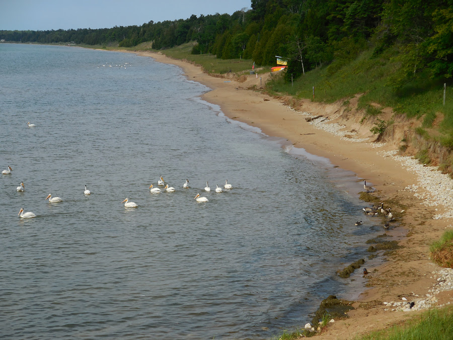 High Lake Michigan water levels hare reduced the available beach at Whitefish Dunes State Park, but the water has been popular with pelicans and geese.