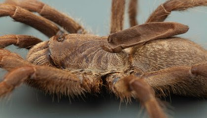 This Tarantula Species Has a Weird, Deflated Horn on Its Back image